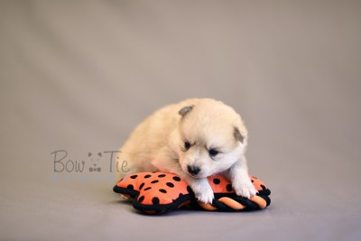 puppy9 BowTiePomsky.com Bowtie Pomsky Puppy For Sale Husky Pomeranian Mini Dog Spokane WA Breeder Blue Eyes Pomskies photo15