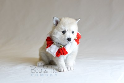 puppy9 BowTiePomsky.com Bowtie Pomsky Puppy For Sale Husky Pomeranian Mini Dog Spokane WA Breeder Blue Eyes Pomskies photo26