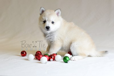 puppy9 BowTiePomsky.com Bowtie Pomsky Puppy For Sale Husky Pomeranian Mini Dog Spokane WA Breeder Blue Eyes Pomskies photo32