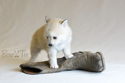 puppy9 BowTiePomsky.com Bowtie Pomsky Puppy For Sale Husky Pomeranian Mini Dog Spokane WA Breeder Blue Eyes Pomskies photo37