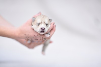 puppy9 BowTiePomsky.com Bowtie Pomsky Puppy For Sale Husky Pomeranian Mini Dog Spokane WA Breeder Blue Eyes Pomskies photo6