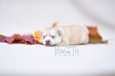 puppy9 BowTiePomsky.com Bowtie Pomsky Puppy For Sale Husky Pomeranian Mini Dog Spokane WA Breeder Blue Eyes Pomskies photo7