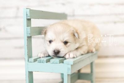 puppy37 week4 BowTiePomsky.com Bowtie Pomsky Puppy For Sale Husky Pomeranian Mini Dog Spokane WA Breeder Blue Eyes Pomskies web1