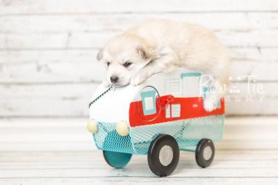 puppy37 week4 BowTiePomsky.com Bowtie Pomsky Puppy For Sale Husky Pomeranian Mini Dog Spokane WA Breeder Blue Eyes Pomskies web2