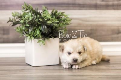 puppy37 week4 BowTiePomsky.com Bowtie Pomsky Puppy For Sale Husky Pomeranian Mini Dog Spokane WA Breeder Blue Eyes Pomskies web5