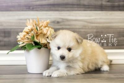 puppy37 week6 BowTiePomsky.com Bowtie Pomsky Puppy For Sale Husky Pomeranian Mini Dog Spokane WA Breeder Blue Eyes Pomskies web3