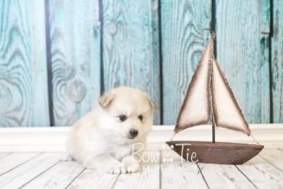 puppy37 week6 BowTiePomsky.com Bowtie Pomsky Puppy For Sale Husky Pomeranian Mini Dog Spokane WA Breeder Blue Eyes Pomskies web5