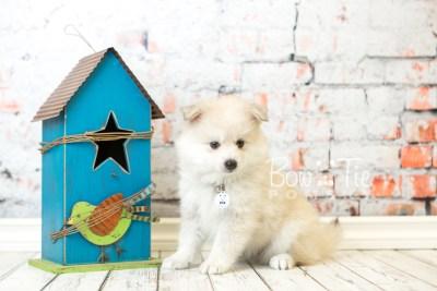 puppy37 week8 BowTiePomsky.com Bowtie Pomsky Puppy For Sale Husky Pomeranian Mini Dog Spokane WA Breeder Blue Eyes Pomskies web1