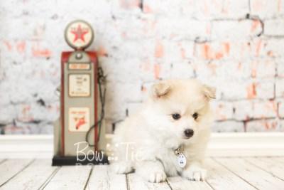 puppy37 week8 BowTiePomsky.com Bowtie Pomsky Puppy For Sale Husky Pomeranian Mini Dog Spokane WA Breeder Blue Eyes Pomskies web2