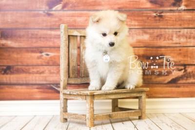 puppy37 week8 BowTiePomsky.com Bowtie Pomsky Puppy For Sale Husky Pomeranian Mini Dog Spokane WA Breeder Blue Eyes Pomskies web3