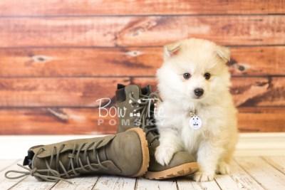 puppy37 week8 BowTiePomsky.com Bowtie Pomsky Puppy For Sale Husky Pomeranian Mini Dog Spokane WA Breeder Blue Eyes Pomskies web4