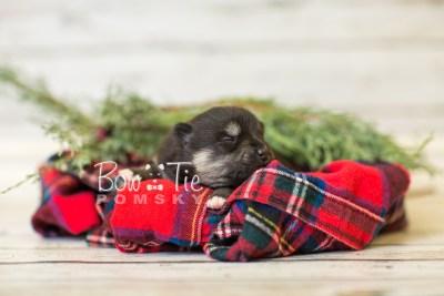 puppy38 week2 BowTiePomsky.com Bowtie Pomsky Puppy For Sale Husky Pomeranian Mini Dog Spokane WA Breeder Blue Eyes Pomskies BowTIePomsky_web-2941