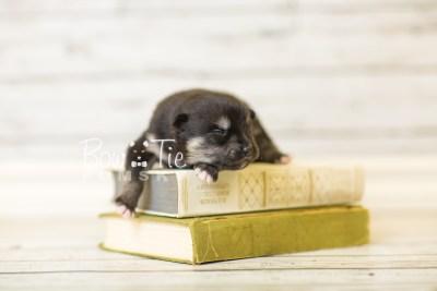 puppy38 week2 BowTiePomsky.com Bowtie Pomsky Puppy For Sale Husky Pomeranian Mini Dog Spokane WA Breeder Blue Eyes Pomskies BowTIePomsky_web-2961