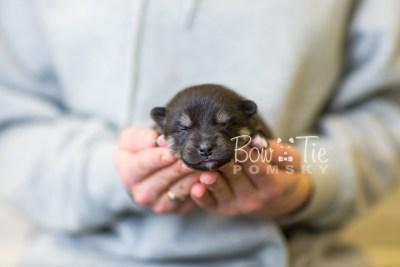 puppy38 week2 BowTiePomsky.com Bowtie Pomsky Puppy For Sale Husky Pomeranian Mini Dog Spokane WA Breeder Blue Eyes Pomskies BowTIePomsky_web-2978