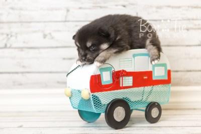 puppy38 week4 BowTiePomsky.com Bowtie Pomsky Puppy For Sale Husky Pomeranian Mini Dog Spokane WA Breeder Blue Eyes Pomskies web2