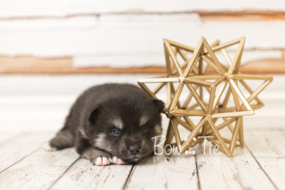 puppy38 week4 BowTiePomsky.com Bowtie Pomsky Puppy For Sale Husky Pomeranian Mini Dog Spokane WA Breeder Blue Eyes Pomskies web3