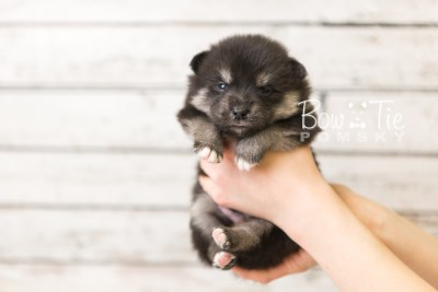 puppy38 week4 BowTiePomsky.com Bowtie Pomsky Puppy For Sale Husky Pomeranian Mini Dog Spokane WA Breeder Blue Eyes Pomskies web6