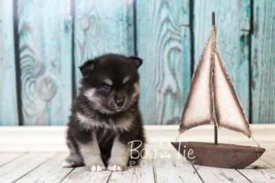 puppy38 week6 BowTiePomsky.com Bowtie Pomsky Puppy For Sale Husky Pomeranian Mini Dog Spokane WA Breeder Blue Eyes Pomskies web3