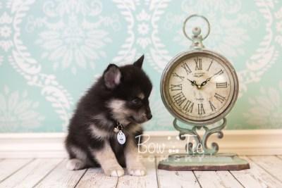 puppy38 week8 BowTiePomsky.com Bowtie Pomsky Puppy For Sale Husky Pomeranian Mini Dog Spokane WA Breeder Blue Eyes Pomskies web2