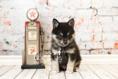 puppy38 week8 BowTiePomsky.com Bowtie Pomsky Puppy For Sale Husky Pomeranian Mini Dog Spokane WA Breeder Blue Eyes Pomskies web5
