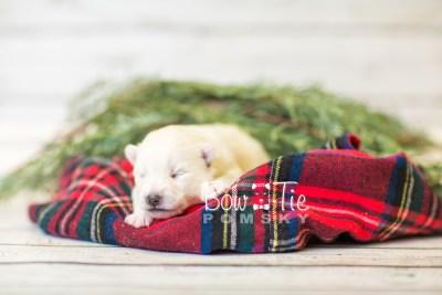 puppy39 week2 BowTiePomsky.com Bowtie Pomsky Puppy For Sale Husky Pomeranian Mini Dog Spokane WA Breeder Blue Eyes Pomskies BowTIePomsky_web-2980