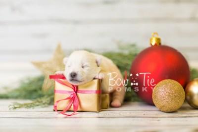 puppy39 week2 BowTiePomsky.com Bowtie Pomsky Puppy For Sale Husky Pomeranian Mini Dog Spokane WA Breeder Blue Eyes Pomskies BowTIePomsky_web-3003