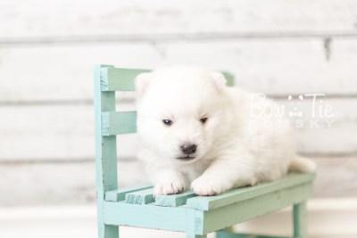 puppy39 week4 BowTiePomsky.com Bowtie Pomsky Puppy For Sale Husky Pomeranian Mini Dog Spokane WA Breeder Blue Eyes Pomskies web1
