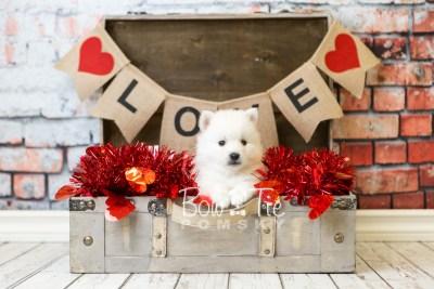 puppy39 week6 BowTiePomsky.com Bowtie Pomsky Puppy For Sale Husky Pomeranian Mini Dog Spokane WA Breeder Blue Eyes Pomskies web1