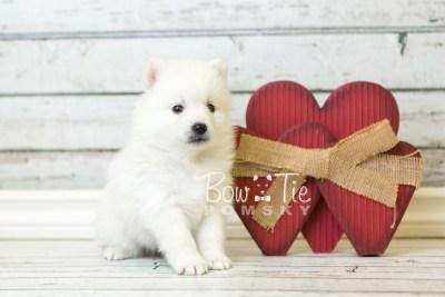 puppy39 week6 BowTiePomsky.com Bowtie Pomsky Puppy For Sale Husky Pomeranian Mini Dog Spokane WA Breeder Blue Eyes Pomskies web5