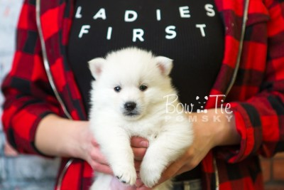 puppy39 week6 BowTiePomsky.com Bowtie Pomsky Puppy For Sale Husky Pomeranian Mini Dog Spokane WA Breeder Blue Eyes Pomskies web6