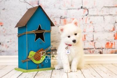 puppy39 week8 BowTiePomsky.com Bowtie Pomsky Puppy For Sale Husky Pomeranian Mini Dog Spokane WA Breeder Blue Eyes Pomskies web1