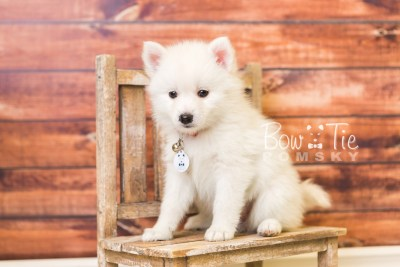puppy39 week8 BowTiePomsky.com Bowtie Pomsky Puppy For Sale Husky Pomeranian Mini Dog Spokane WA Breeder Blue Eyes Pomskies web4