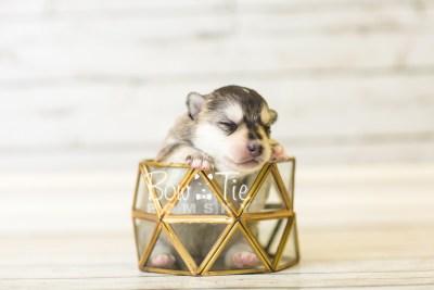 puppy40 week2 BowTiePomsky.com Bowtie Pomsky Puppy For Sale Husky Pomeranian Mini Dog Spokane WA Breeder Blue Eyes Pomskies BowTIePomsky_web-3018