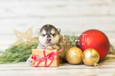puppy40 week2 BowTiePomsky.com Bowtie Pomsky Puppy For Sale Husky Pomeranian Mini Dog Spokane WA Breeder Blue Eyes Pomskies BowTIePomsky_web-3033