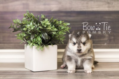 puppy40 week4 BowTiePomsky.com Bowtie Pomsky Puppy For Sale Husky Pomeranian Mini Dog Spokane WA Breeder Blue Eyes Pomskies web5