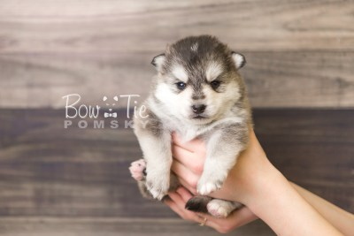 puppy40 week4 BowTiePomsky.com Bowtie Pomsky Puppy For Sale Husky Pomeranian Mini Dog Spokane WA Breeder Blue Eyes Pomskies web6