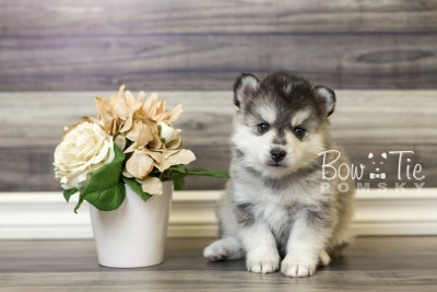 puppy40 week6 BowTiePomsky.com Bowtie Pomsky Puppy For Sale Husky Pomeranian Mini Dog Spokane WA Breeder Blue Eyes Pomskies web3