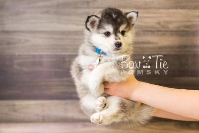 puppy40 week8 BowTiePomsky.com Bowtie Pomsky Puppy For Sale Husky Pomeranian Mini Dog Spokane WA Breeder Blue Eyes Pomskies web1