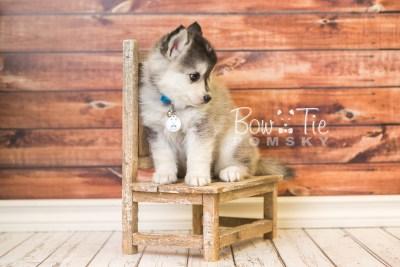 puppy40 week8 BowTiePomsky.com Bowtie Pomsky Puppy For Sale Husky Pomeranian Mini Dog Spokane WA Breeder Blue Eyes Pomskies web3