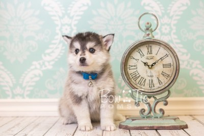 puppy40 week8 BowTiePomsky.com Bowtie Pomsky Puppy For Sale Husky Pomeranian Mini Dog Spokane WA Breeder Blue Eyes Pomskies web4