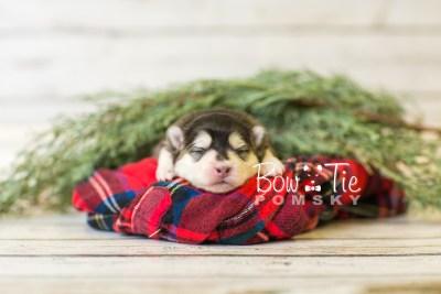 puppy41 week1 BowTiePomsky.com Bowtie Pomsky Puppy For Sale Husky Pomeranian Mini Dog Spokane WA Breeder Blue Eyes Pomskies BowTIePomsky_web-3061