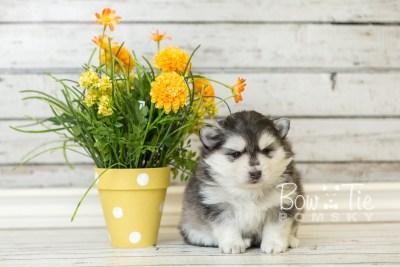 puppy41 week6 BowTiePomsky.com Bowtie Pomsky Puppy For Sale Husky Pomeranian Mini Dog Spokane WA Breeder Blue Eyes Pomskies web4