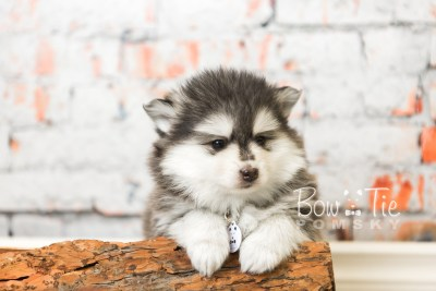puppy41 week8 BowTiePomsky.com Bowtie Pomsky Puppy For Sale Husky Pomeranian Mini Dog Spokane WA Breeder Blue Eyes Pomskies web2
