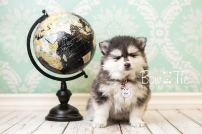 puppy41 week8 BowTiePomsky.com Bowtie Pomsky Puppy For Sale Husky Pomeranian Mini Dog Spokane WA Breeder Blue Eyes Pomskies web3