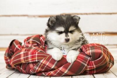 puppy41 week8 BowTiePomsky.com Bowtie Pomsky Puppy For Sale Husky Pomeranian Mini Dog Spokane WA Breeder Blue Eyes Pomskies web5