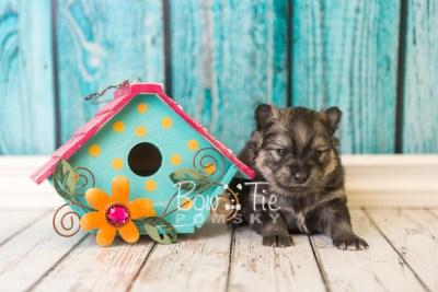 puppy42 week4 BowTiePomsky.com Bowtie Pomsky Puppy For Sale Husky Pomeranian Mini Dog Spokane WA Breeder Blue Eyes Pomskies web1