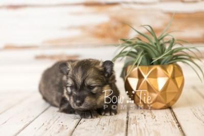 puppy42 week4 BowTiePomsky.com Bowtie Pomsky Puppy For Sale Husky Pomeranian Mini Dog Spokane WA Breeder Blue Eyes Pomskies web5