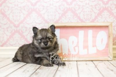 puppy42 week6 BowTiePomsky.com Bowtie Pomsky Puppy For Sale Husky Pomeranian Mini Dog Spokane WA Breeder Blue Eyes Pomskies web4