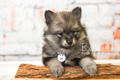 puppy42 week8 BowTiePomsky.com Bowtie Pomsky Puppy For Sale Husky Pomeranian Mini Dog Spokane WA Breeder Blue Eyes Pomskies web5