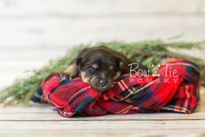 puppy43 week1 BowTiePomsky.com Bowtie Pomsky Puppy For Sale Husky Pomeranian Mini Dog Spokane WA Breeder Blue Eyes Pomskies BowTIePomsky_web-3130